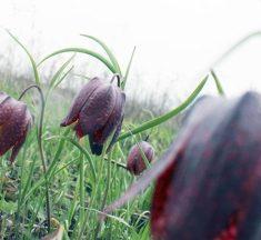 На Львівщині зацвіла долина диких тюльпанів