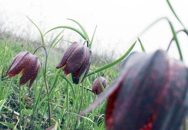 """Долина """"чорних"""" тюльпанів на Львівщині чекає на туристів"""