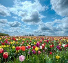 Повинні побачити: в мережі показали неймовірне тюльпанове поле, створене українцем
