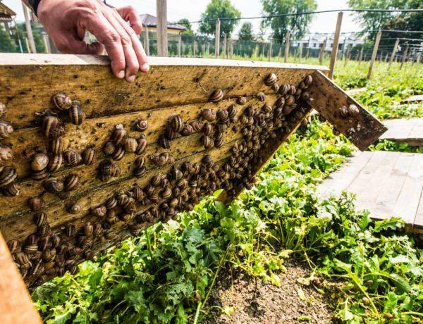Смачний делікатес: На фермі Львівщини вирощують виноградних равликів